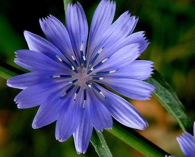 معمولا رنگ گل های گیاه کاسنی بنفش یا آبی است