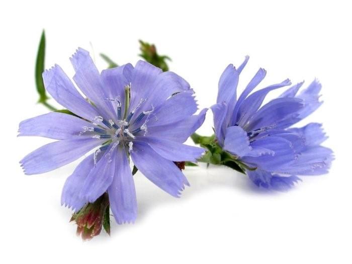 ریشه کاسنی در طب سنتی جزو 38 گیاهی است که در تهیه گل باخ و داروهای گیاهی استفاده می شود